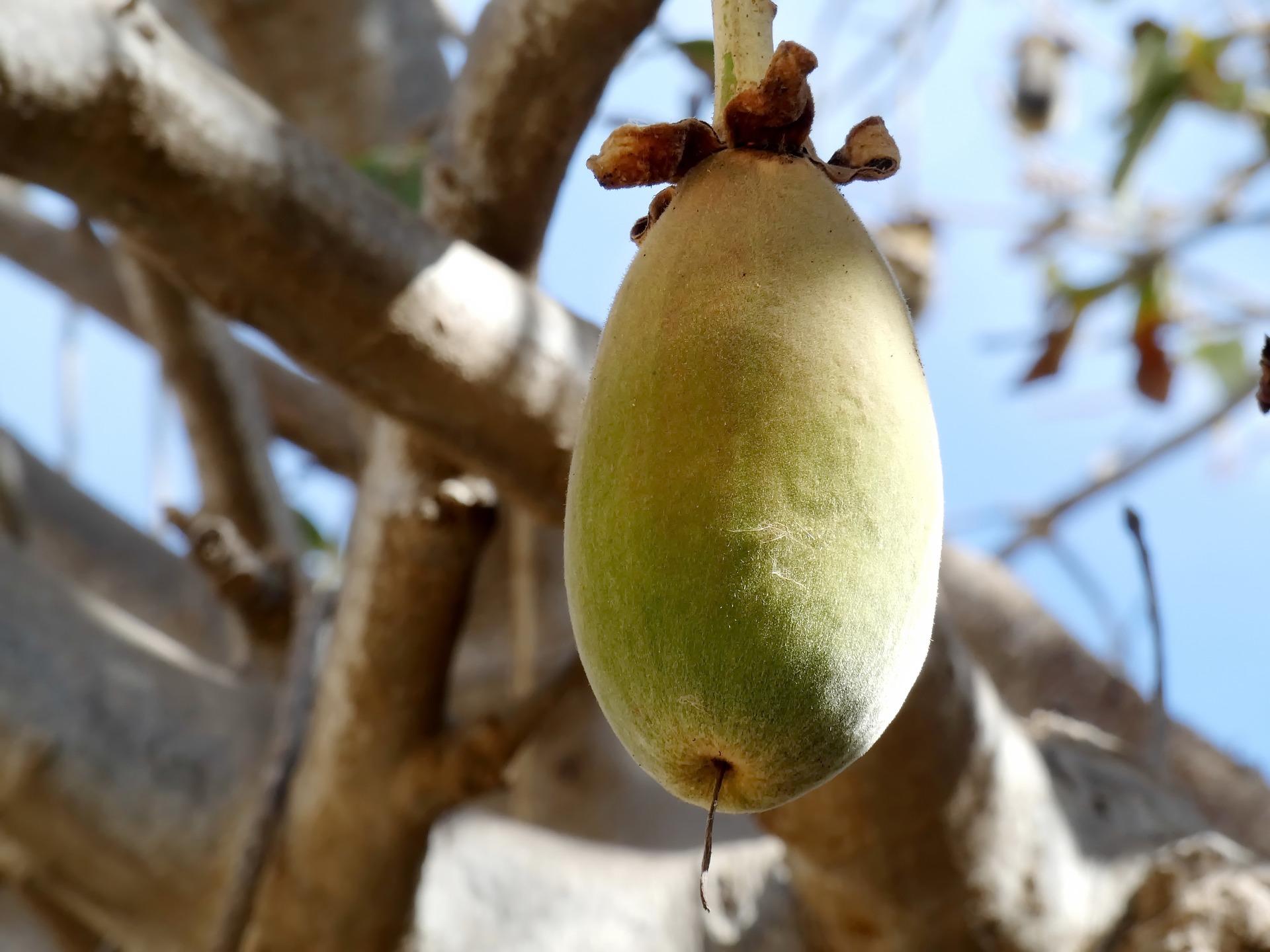 BDS fruit baobab